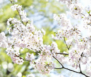 Cherry blossoms over blurred nature background with bokeh. Stock Photos