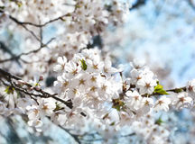 Cherry blossoms over blurred nature background with bokeh. Royalty Free Stock Photos