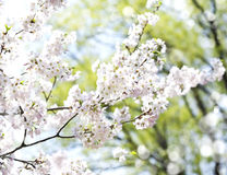 Cherry blossoms over blurred nature background with bokeh. Stock Images