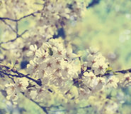 Cherry blossoms over blurred nature background with bokeh. Royalty Free Stock Images