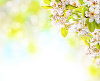 Cherry blossoms over blurred nature background Royalty Free Stock Photography
