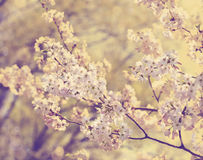 Cherry blossoms over blurred nature background. Stock Image