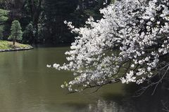 Cherry blossoms over the lake Stock Photo