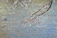Cherry Blossoms over the river Stock Image