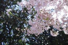 Cherry Blossoms på Duke University royaltyfri bild