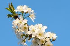 Cherry Blossoms på en blå himmel för blomma för japan Cherryclose för bakgrund blom- tree fjäder upp Royaltyfri Bild