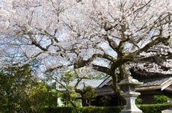Cherry Blossoms på filosof` s går, eller Tetsugaku-inget-Michi, Kyoto, Japan Royaltyfri Foto