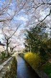 Cherry Blossoms på filosof` s går, eller Tetsugaku-inget-Michi, Kyoto, Japan Arkivfoto
