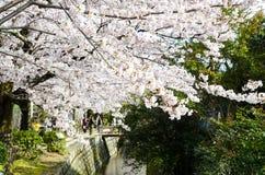 Cherry Blossoms på filosof` s går, eller Tetsugaku-inget-Michi, Kyoto, Japan Royaltyfria Foton