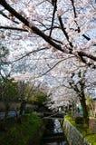 Cherry Blossoms på filosof` s går, eller Tetsugaku-inget-Michi, Kyoto, Japan Arkivbilder