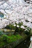 Cherry Blossoms på filosof` s går, eller Tetsugaku-inget-Michi, Kyoto, Japan Royaltyfri Bild