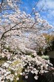 Cherry Blossoms på filosof` s går, eller Tetsugaku-inget-Michi, Kyoto, Japan Royaltyfria Bilder