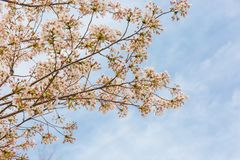 Cherry blossoms, pale pink, light and fresh stock photography