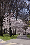 Cherry Blossoms in the Park Stock Image