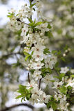 Cherry blossoms in the Park. Closeup of delicate cherry flowers royalty free stock photos
