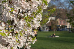 Cherry Blossoms in a park Royalty Free Stock Photography