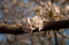 Cherry blossoms in the park. March is the season of cherry blossoms, cherry blossoms are very romantic Stock Photos