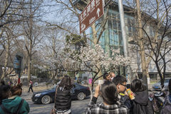 Cherry blossoms, people more than flowers. With the increase in temperature, China`s Jiangsu Nanjing chicken temple has a cherry tree in full bloom, absorbing a Royalty Free Stock Photos