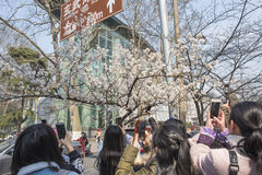 Cherry blossoms, people more than flowers. With the increase in temperature, China`s Jiangsu Nanjing chicken temple has a cherry tree in full bloom, absorbing a Stock Photography