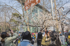 Cherry blossoms, people more than flowers. With the increase in temperature, China`s Jiangsu Nanjing chicken temple has a cherry tree in full bloom, absorbing a Stock Images
