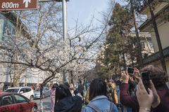 Cherry blossoms, people more than flowers. With the increase in temperature, China`s Jiangsu Nanjing chicken temple has a cherry tree in full bloom, absorbing a Stock Photos