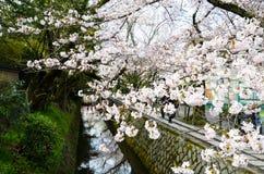 Cherry Blossoms on Philosopher`s Walk, or Tetsugaku-no-Michi, Kyoto, Japan Royalty Free Stock Photography