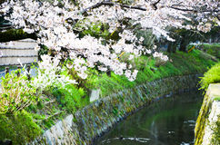 Cherry Blossoms on Philosopher`s Walk, or Tetsugaku-no-Michi, Kyoto, Japan Royalty Free Stock Images