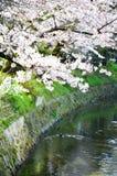 Cherry Blossoms on Philosopher`s Walk, or Tetsugaku-no-Michi, Kyoto, Japan Royalty Free Stock Photo