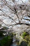 Cherry Blossoms on Philosopher`s Walk, or Tetsugaku-no-Michi, Kyoto, Japan Royalty Free Stock Image