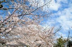 Cherry Blossoms on Philosopher`s Walk, or Tetsugaku-no-Michi, Kyoto, Japan Stock Images