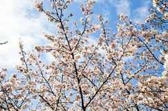 Cherry Blossoms on Philosopher`s Walk, or Tetsugaku-no-Michi, Kyoto, Japan Royalty Free Stock Photos