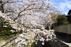 Cherry Blossoms on Philosopher`s Walk, or Tetsugaku-no-Michi, Kyoto, Japan Stock Photo