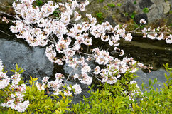 Cherry Blossoms on Philosopher`s Walk, or Tetsugaku-no-Michi, Kyoto, Japan Stock Image