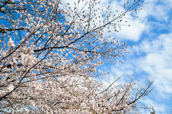 Cherry Blossoms on Philosopher`s Walk, or Tetsugaku-no-Michi, Kyoto, Japan Stock Photography