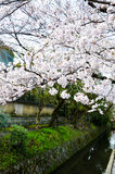 Cherry Blossoms on Philosopher`s Walk, or Tetsugaku-no-Michi, Kyoto, Japan Royalty Free Stock Image