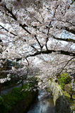 Cherry Blossoms on Philosopher`s Walk, or Tetsugaku-no-Michi, Kyoto, Japan Royalty Free Stock Photo