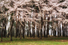 Cherry blossoms in pine tree Stock Photo