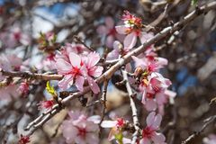 Cherry blossoms, pink flowers. On Mount Nemrut. Turkey royalty free stock photography