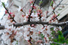 Cherry blossoms, pink flowers Royalty Free Stock Images