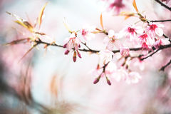 Cherry blossoms. Pink flowers vintage tone royalty free stock image