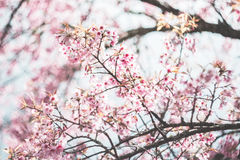 Cherry blossoms. Pink flowers vintage tone stock image