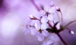 Cherry Blossoms close-up. Cherry Blossoms. Pink Purple Blossoming cherry branch close-up on blurred abstract background spring tree japan bloom natural japanese royalty free stock photography