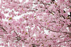 Cherry Blossoms or Pink Sakura. Royalty Free Stock Photography
