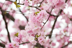 Cherry Blossoms or Pink Sakura. Stock Photos