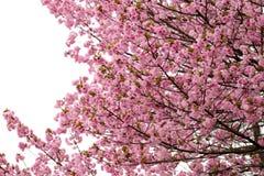Cherry Blossoms or Pink Sakura. Stock Photography