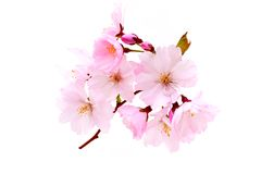 Cherry blossoms, pink spring flowers. Royalty Free Stock Photos