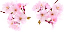 Cherry blossoms, pink spring flowers. Royalty Free Stock Images