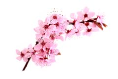 Cherry blossoms, pink spring flowers. Royalty Free Stock Photography