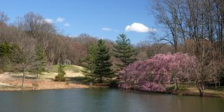 Cherry blossoms and pond. Weeping cherry trees and pond at Meadowlark gardens in full bloom in Spring Stock Images