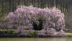 Cherry blossoms and pond. Weeping cherry trees and pond at Meadowlark gardens in full bloom in Spring Stock Photography
